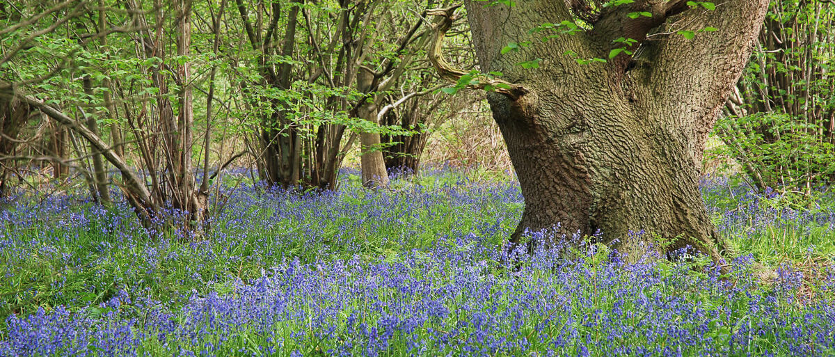 Bluebells - Copyright Natural England Peter Roworth