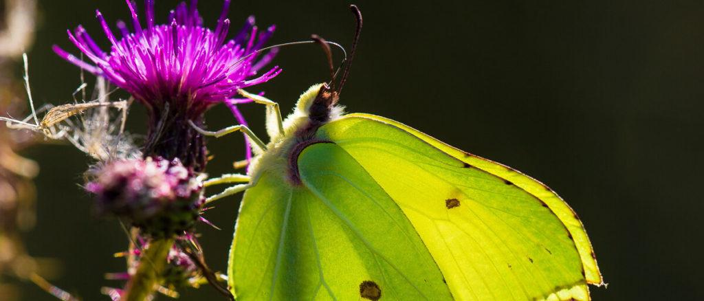 Brimstone - Credit Natural England Allan Drewitt