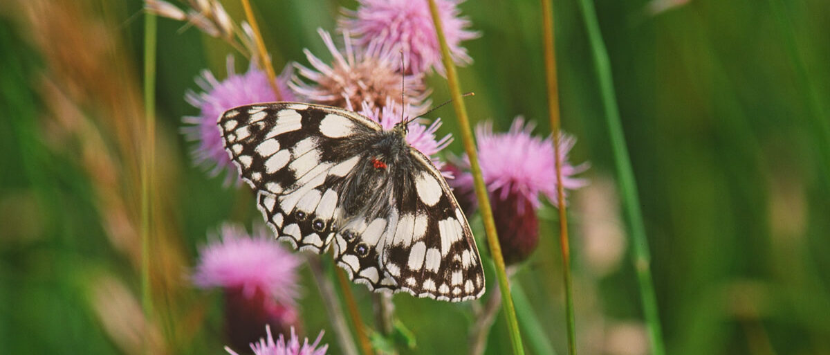 Marbled white butterfly - Copyright Natural England Chris Gomersall