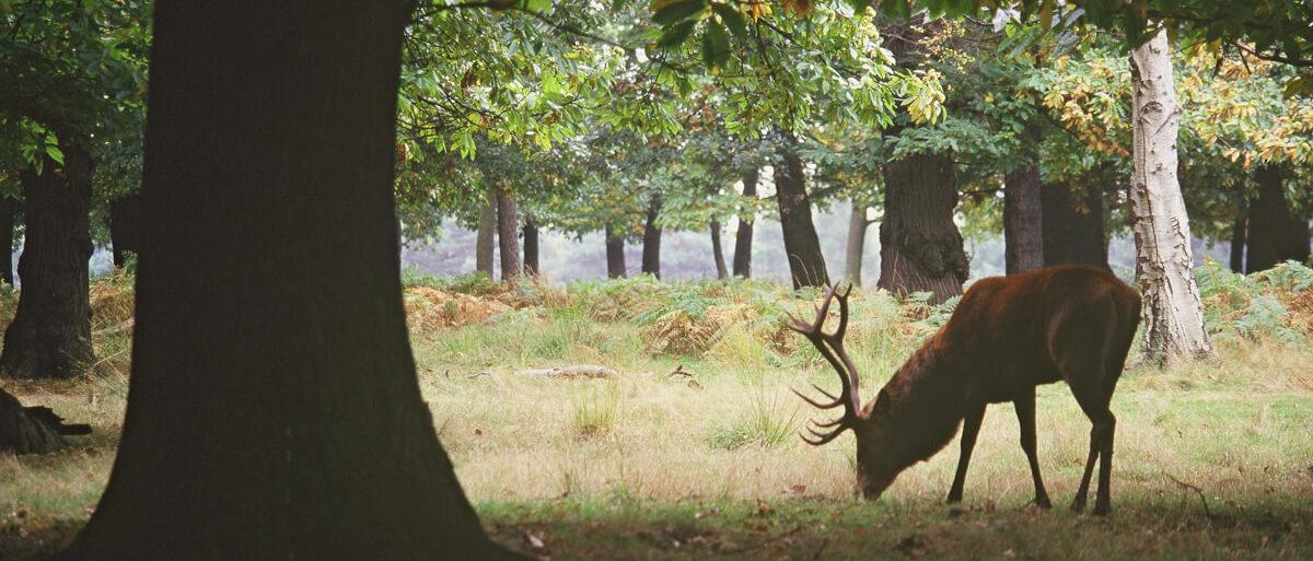 Red deer stag - Copyright Natural England Paul Glendell