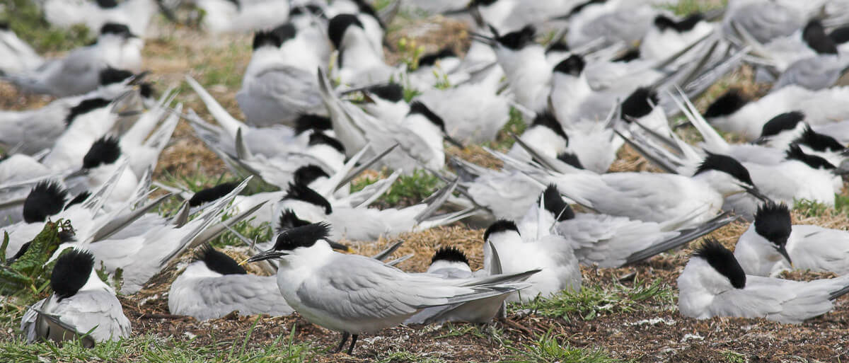 Sandwich Tern colony - Credit Natural England Allan Drewitt