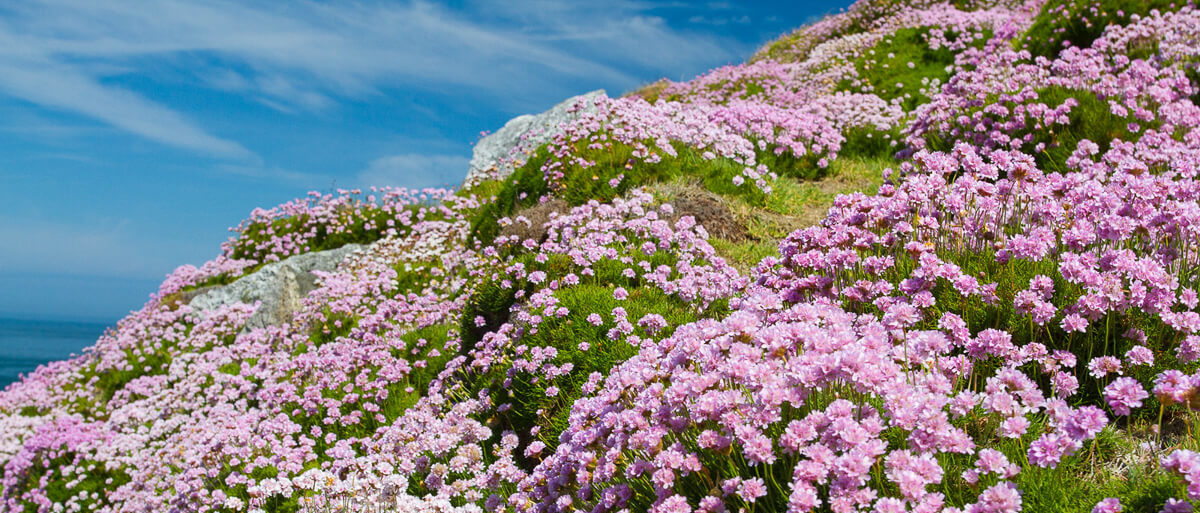 Thrift on Lundy - Credit Natural England Allan Drewitt