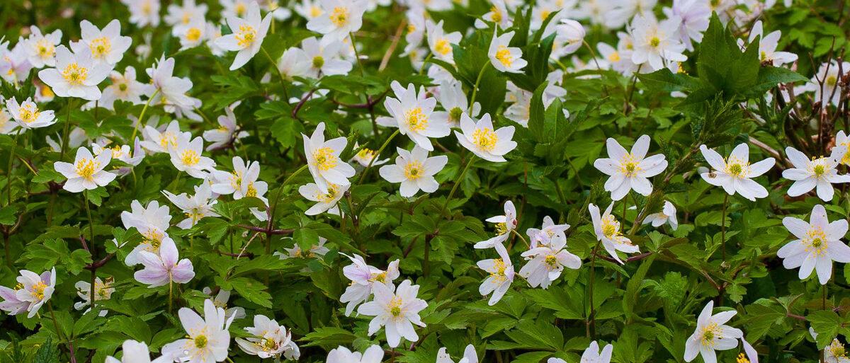 Wood Anemone - Credit Natural England Allan Drewitt